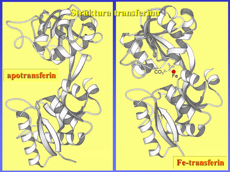 apotransferin CO 3 2– Fe Fe-transferin Struktura transferinu