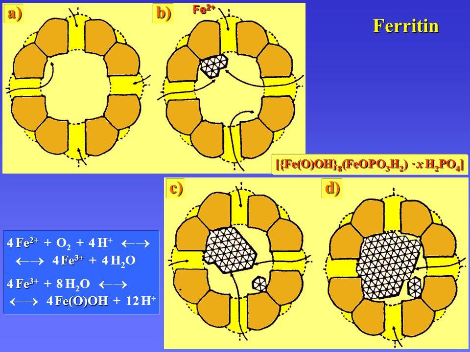 Ferritin a) Fe 2+ b) c)d) Fe 2+ Fe 3+ 4 Fe 2+ + O 2 + 4 H +   4 Fe 3+ + 4 H 2 O.