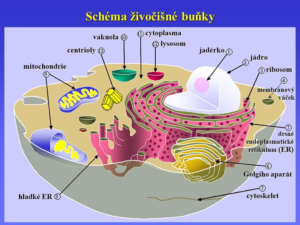 Schéma živočišné buňky hladké ER cytoskelet Golgiho aparát drsné endoplasmatické retikulum (ER) membránový váček ribosom jádro jadérko centrioly mitochondrie vakuola lysosom cytoplasma