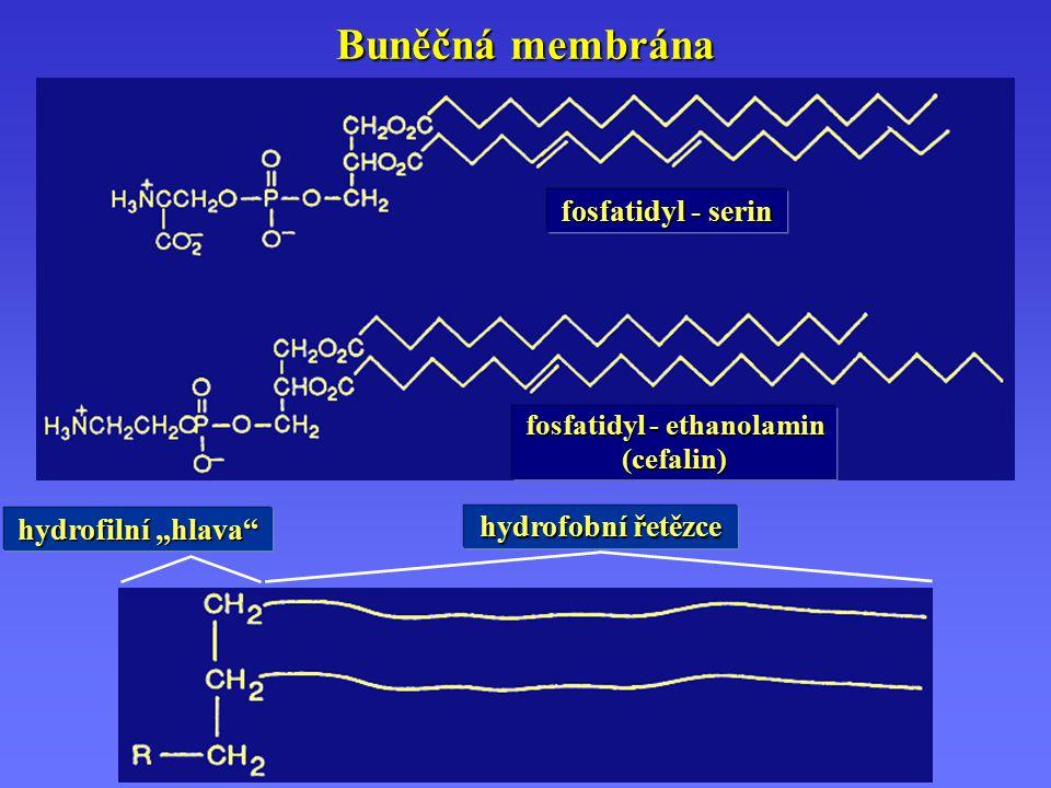"""Buněčná membrána fosfatidyl - serin fosfatidyl - ethanolamin (cefalin) hydrofilní """"hlava hydrofobní řetězce"""