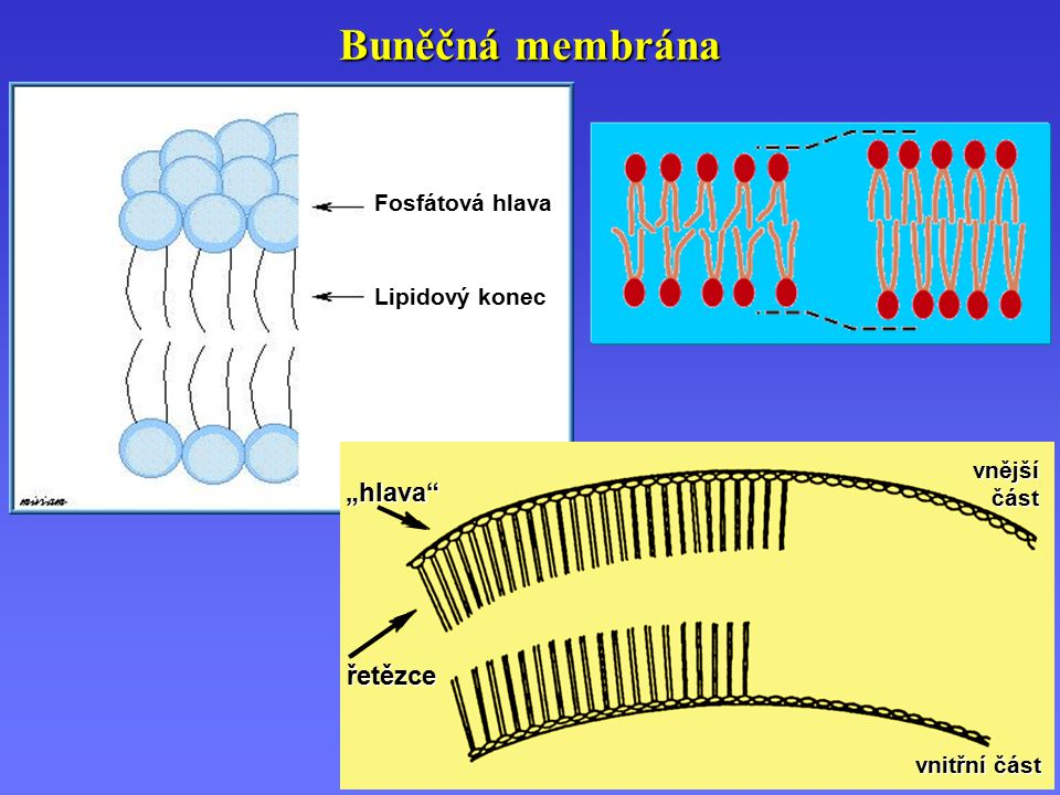 """Transport iontů přes membránu M n+ M n+ (aq) MX n MX n (s) L 1L 1L 1L 1 L 2L 2L 2L 2 Iontovýkanál ReceptorProtein Proteinový přenašeč """"Úložiště Transport iontů přes membránu"""