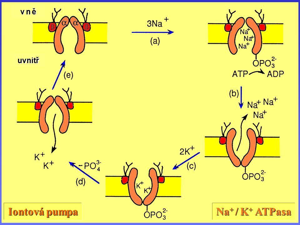 Iontová pumpa v n ěv n ěv n ěv n ě uvnitř Na + / K + ATPasa