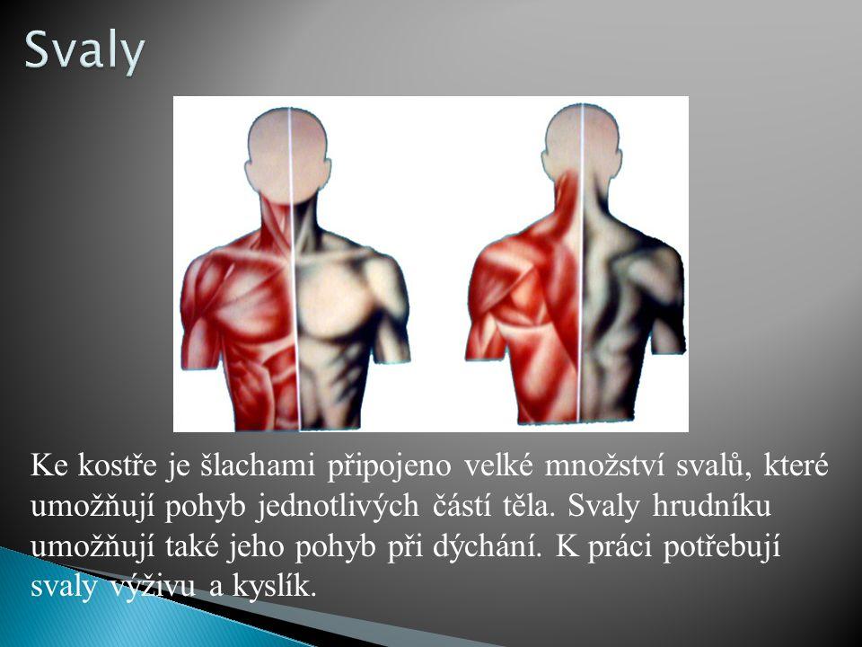 Tyto svaly jsou mohutně vyvinuté.Umožňují pohyb z místa na místo.