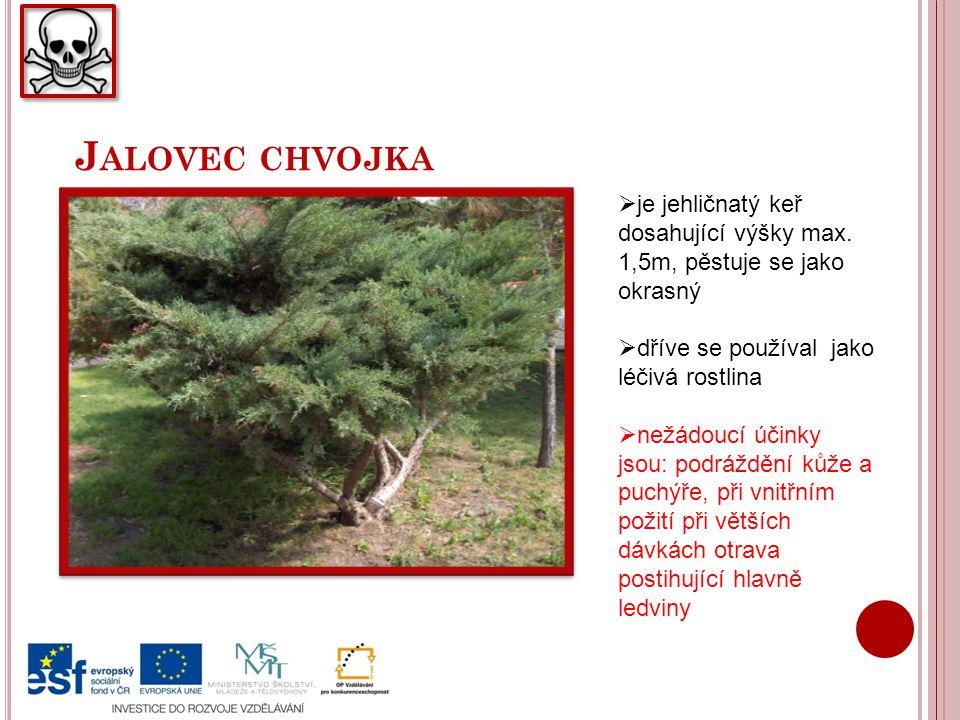 J ALOVEC CHVOJKA  je jehličnatý keř dosahující výšky max. 1,5m, pěstuje se jako okrasný  dříve se používal jako léčivá rostlina  nežádoucí účinky j