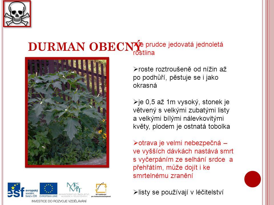 DURMAN OBECNÝ  je prudce jedovatá jednoletá rostlina  roste roztroušeně od nížin až po podhůří, pěstuje se i jako okrasná  je 0,5 až 1m vysoký, stonek je větvený s velkými zubatými listy a velkými bílými nálevkovitými květy, plodem je ostnatá tobolka  otrava je velmi nebezpečná – ve vyšších dávkách nastává smrt s vyčerpáním ze selhání srdce a přehřátím, může dojít i ke smrtelnému zranění  listy se používají v léčitelství