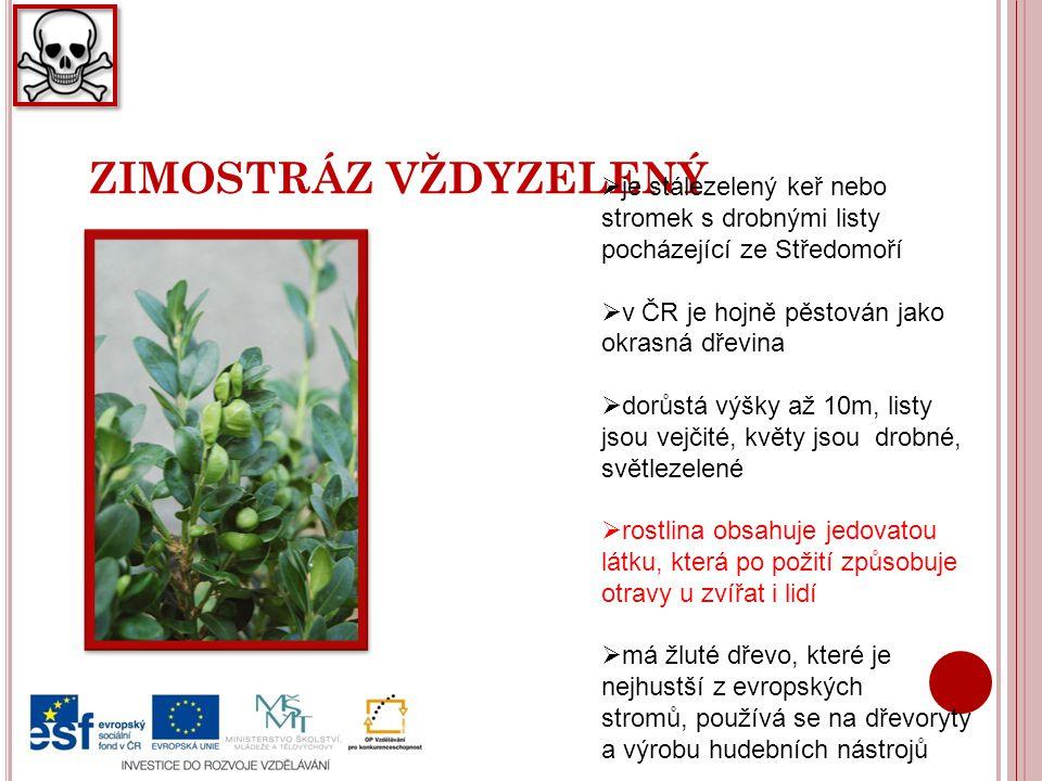 ZIMOSTRÁZ VŽDYZELENÝ  je stálezelený keř nebo stromek s drobnými listy pocházející ze Středomoří  v ČR je hojně pěstován jako okrasná dřevina  dorů