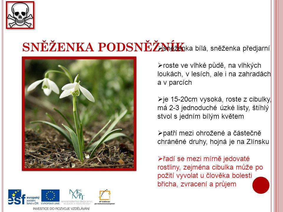 SNĚŽENKA PODSNĚŽNÍK  sněženka bílá, sněženka předjarní  roste ve vlhké půdě, na vlhkých loukách, v lesích, ale i na zahradách a v parcích  je 15-20cm vysoká, roste z cibulky, má 2-3 jednoduché úzké listy, štíhlý stvol s jedním bílým květem  patří mezi ohrožené a částečně chráněné druhy, hojná je na Zlínsku  řadí se mezi mírně jedovaté rostliny, zejména cibulka může po požití vyvolat u člověka bolesti břicha, zvracení a průjem