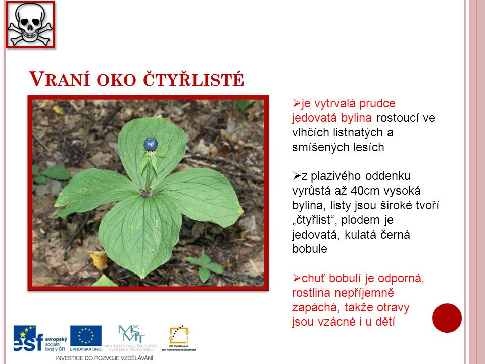 V RANÍ OKO ČTYŘLISTÉ  je vytrvalá prudce jedovatá bylina rostoucí ve vlhčích listnatých a smíšených lesích  z plazivého oddenku vyrůstá až 40cm vyso