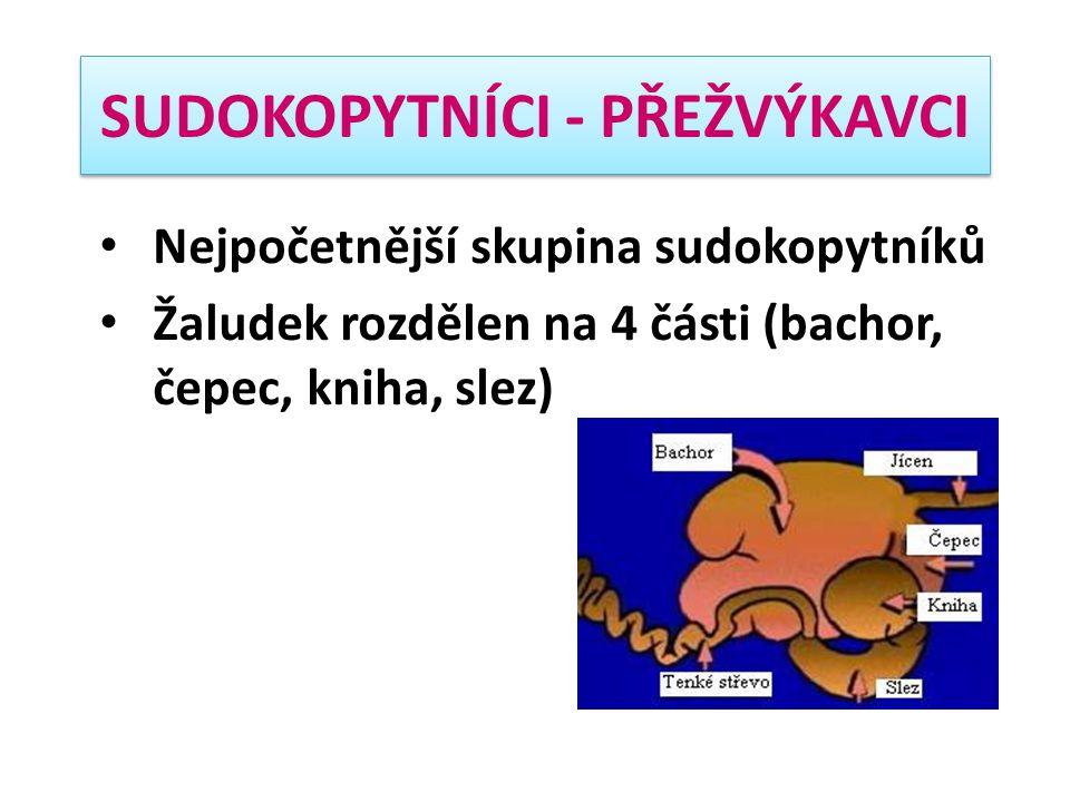 SUDOKOPYTNÍCI - PŘEŽVÝKAVCI Nejpočetnější skupina sudokopytníků Žaludek rozdělen na 4 části (bachor, čepec, kniha, slez)