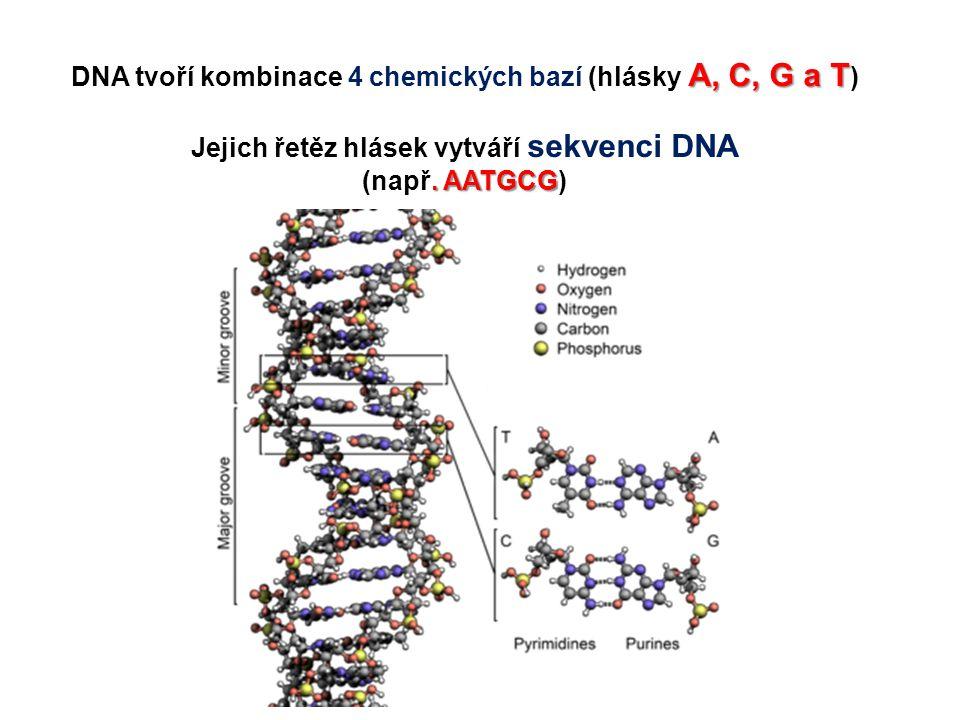A, C, G a T DNA tvoří kombinace 4 chemických bazí (hlásky A, C, G a T ) Jejich řetěz hlásek vytváří sekvenci DNA. AATGCG (např. AATGCG)
