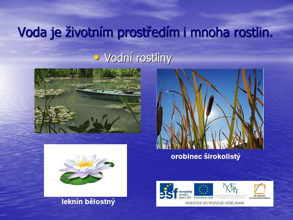 Voda je životním prostředím i mnoha rostlin. Vodní rostliny Vodní rostliny leknín bělostný orobinec širokolistý
