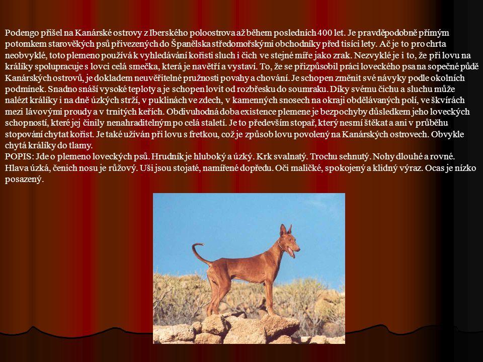 Historie plemene: Je blízce příbuzný ibizskému chrtovi a většímu ze tří portugalských podengů.