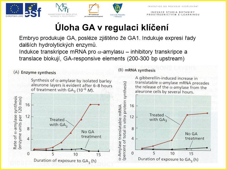 Úloha GA v regulaci klíčení Embryo produkuje GA, posléze zjištěno že GA1. Indukuje expresi řady dalších hydrolytických enzymů. Indukce transkripce mRN