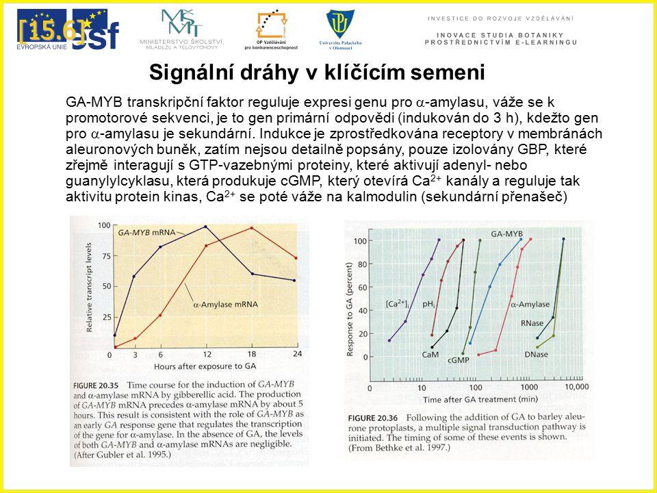 [15.6] GA-MYB transkripční faktor reguluje expresi genu pro  -amylasu, váže se k promotorové sekvenci, je to gen primární odpovědi (indukován do 3 h)