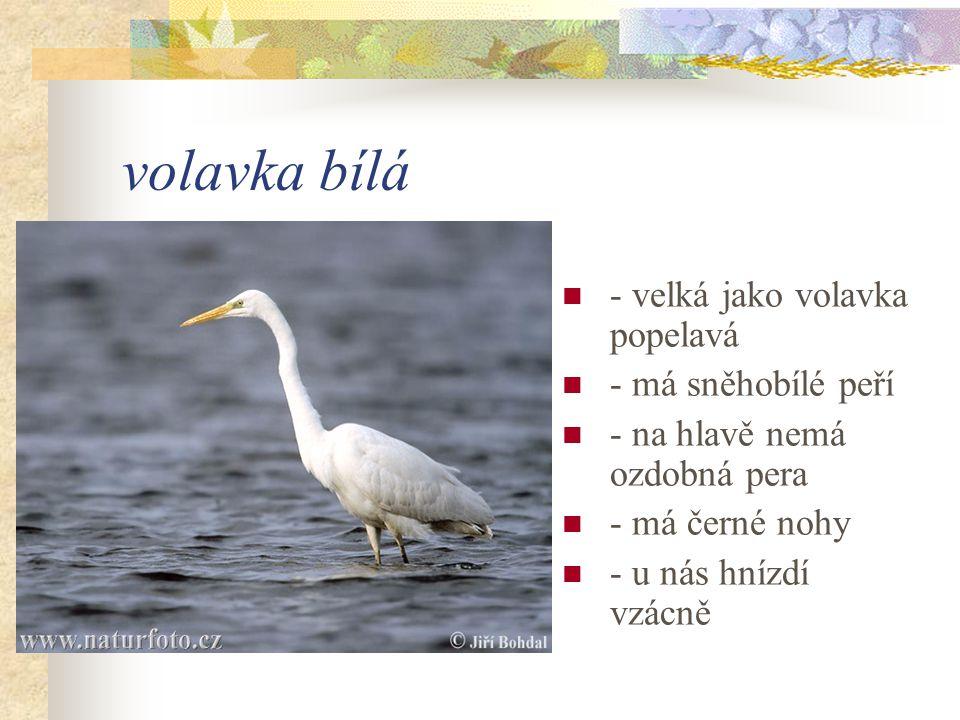 volavka bílá - velká jako volavka popelavá - má sněhobílé peří - na hlavě nemá ozdobná pera - má černé nohy - u nás hnízdí vzácně
