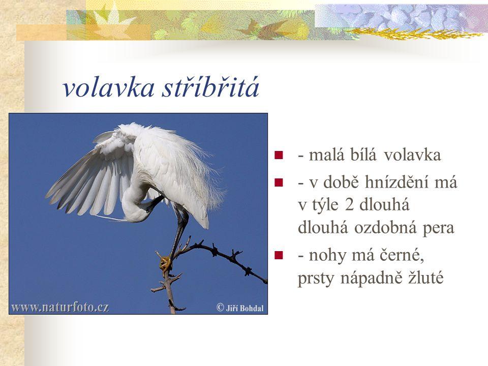 volavka stříbřitá - malá bílá volavka - v době hnízdění má v týle 2 dlouhá dlouhá ozdobná pera - nohy má černé, prsty nápadně žluté