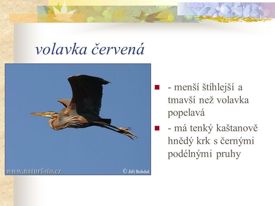 volavka červená - menší štíhlejší a tmavší než volavka popelavá - má tenký kaštanově hnědý krk s černými podélnými pruhy