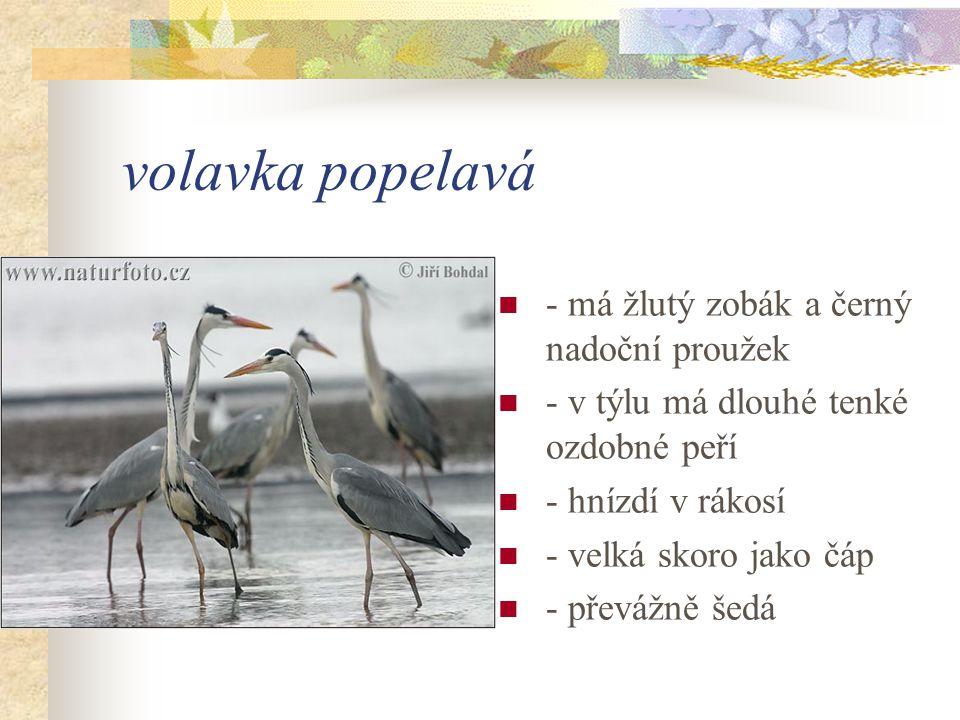 volavka popelavá - má žlutý zobák a černý nadoční proužek - v týlu má dlouhé tenké ozdobné peří - hnízdí v rákosí - velká skoro jako čáp - převážně šedá