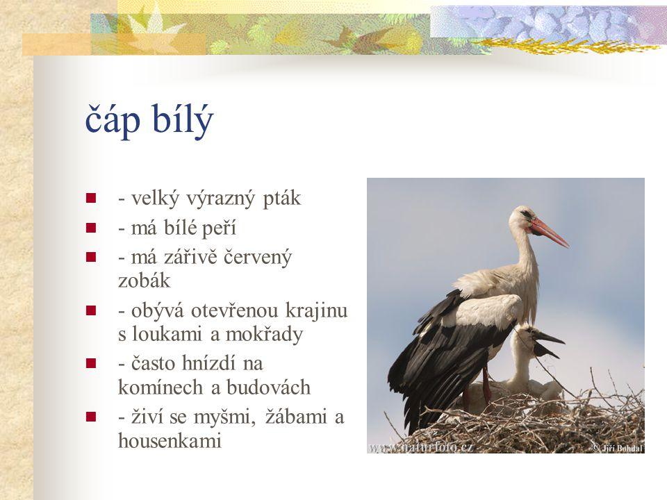čáp bílý - velký výrazný pták - má bílé peří - má zářivě červený zobák - obývá otevřenou krajinu s loukami a mokřady - často hnízdí na komínech a budovách - živí se myšmi, žábami a housenkami