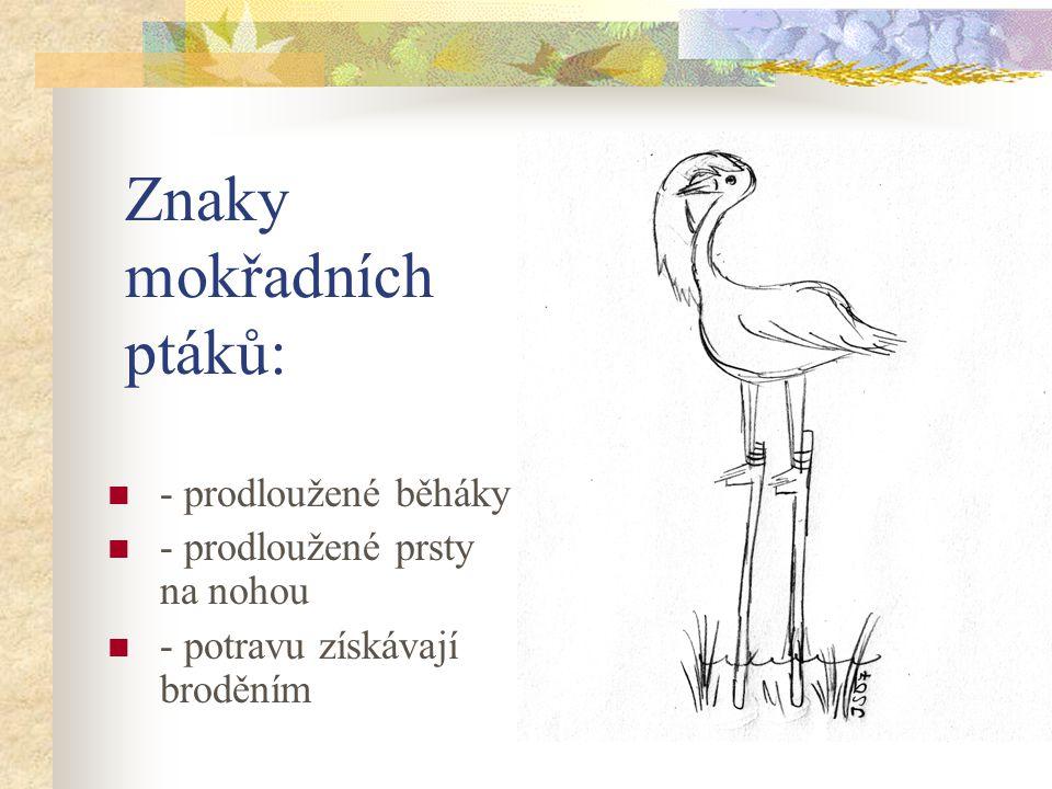 Znaky mokřadních ptáků: - prodloužené běháky - prodloužené prsty na nohou - potravu získávají broděním