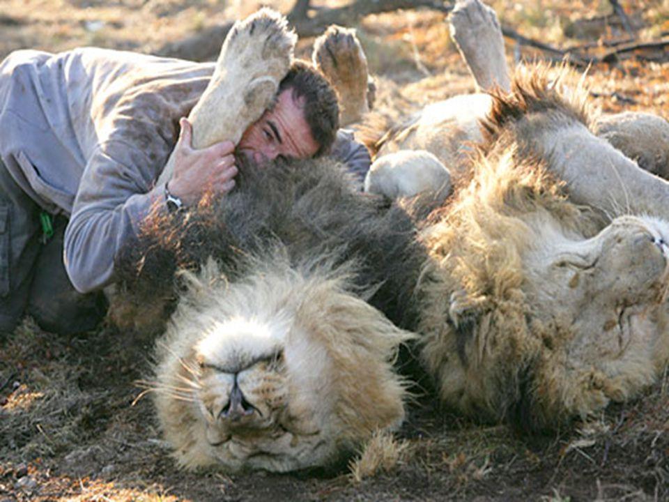 Lev, známý jako král džungle, může ukázat svou agresivní podstatu.