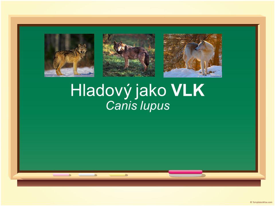 Hladový jako VLK Canis lupus