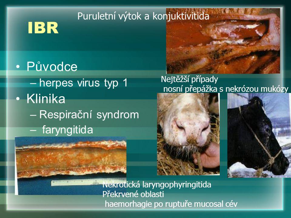 IBR Původce –herpes virus typ 1 Klinika –Respirační syndrom – faryngitida Puruletní výtok a konjuktivitida Nekrotická laryngophyringitida Překrvené ob