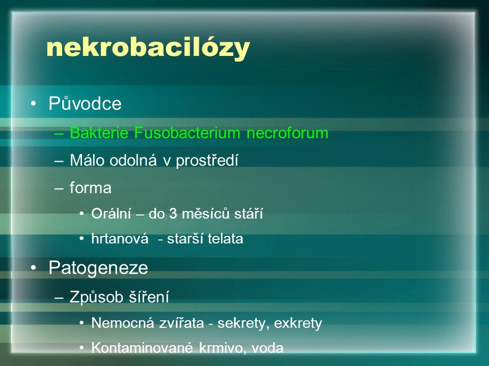 nekrobacilózy Původce –Bakterie Fusobacterium necroforum –Málo odolná v prostředí –forma Orální – do 3 měsíců stáří hrtanová - starší telata Patogenez