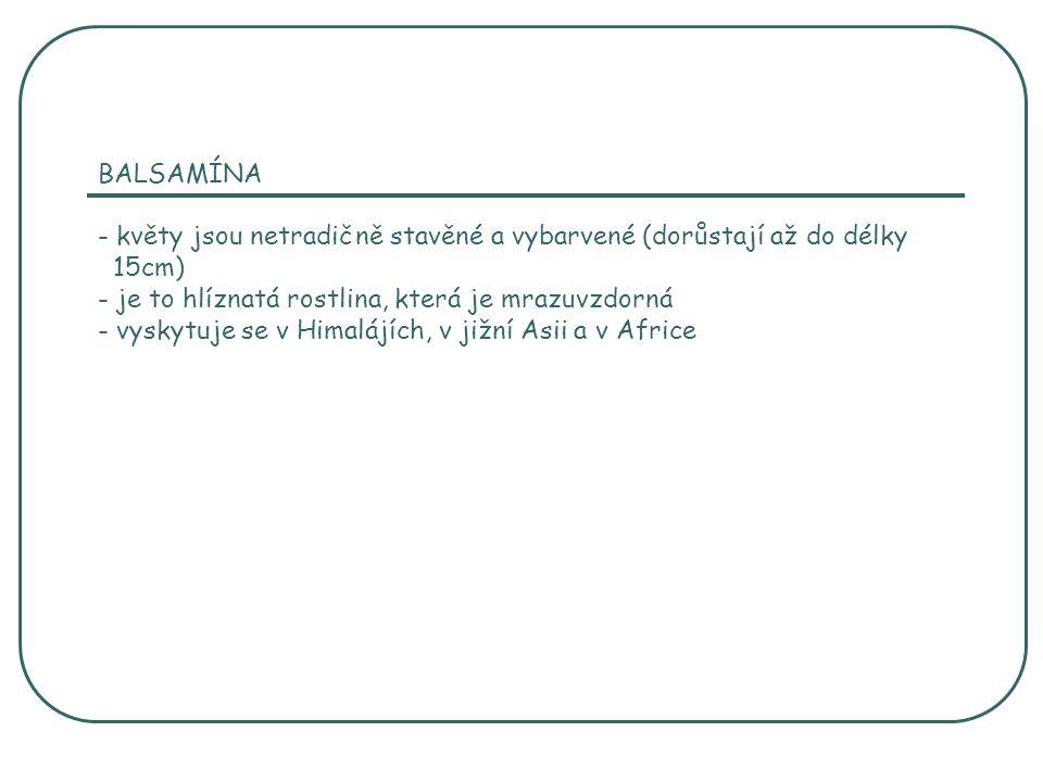 BALSAMÍNA - květy jsou netradičně stavěné a vybarvené (dorůstají až do délky 15cm) - je to hlíznatá rostlina, která je mrazuvzdorná - vyskytuje se v H
