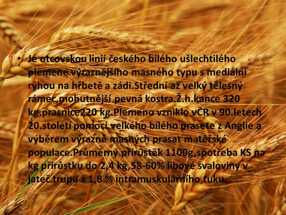 Je otcovskou linií českého bílého ušlechtilého plemene výraznějšího masného typu s mediální rýhou na hřbetě a zádi.Střední až velký tělesný rámec,mohu