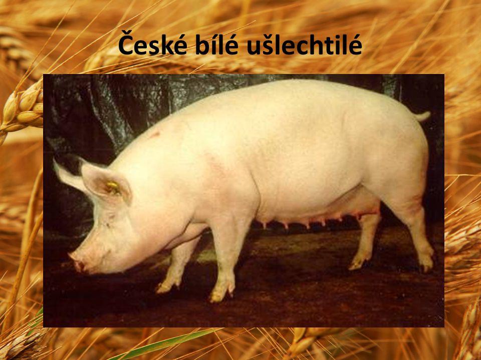 Známé je také maďarské plemeno MANGALICA.Jedná se o sádelnaté plemeno s výraznou kadeřavou srstí díky níž dobře snáší nízké i vysoké teploty.V Maďarsku je chováno jako genová rezerva.Skromné plemeno velkého tělesného rámce.Ž.h.