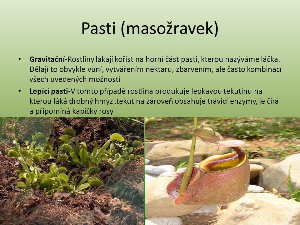 Pasti (masožravek) Gravitační-Rostliny lákají kořist na horní část pasti, kterou nazýváme láčka. Dělají to obvykle vůní, vytvářením nektaru, zbarvením