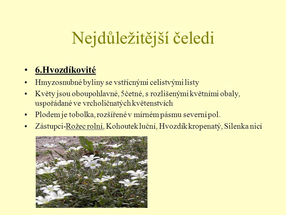 Nejdůležitější čeledi 7.Merlíkovité Byliny s jednoduchými listy Květy-oboupohlavné i jednopohlavné, drobné s redukovaným okvětím Plodem je nažka Zástupci-Merlík bílý, Lebeda lesklá, Špenát setý, Řepa obecná