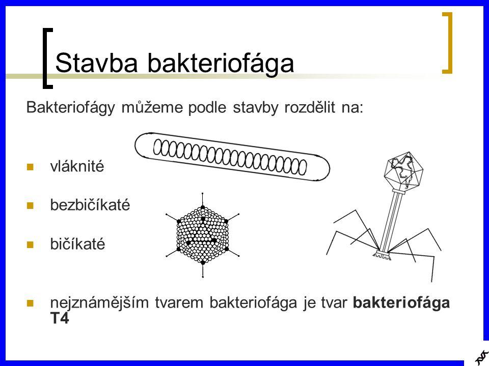 Stavba bakteriofága Bakteriofágy můžeme podle stavby rozdělit na: vláknité bezbičíkaté bičíkaté nejznámějším tvarem bakteriofága je tvar bakteriofága T4