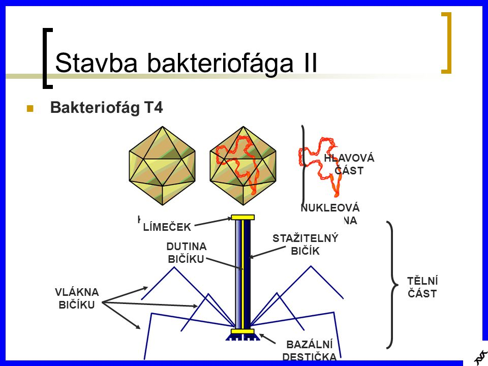 Stavba bakteriofága II Bakteriofág T4 KAPSIDA NUKLEOVÁ KYSELINA NUKLEOKAPSID HLAVOVÁ ČÁST TĚLNÍ ČÁST VLÁKNA BIČÍKU BAZÁLNÍ DESTIČKA STAŽITELNÝ BIČÍK LÍMEČEK DUTINA BIČÍKU