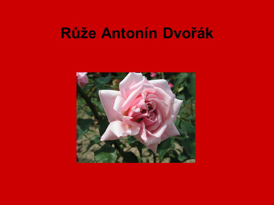 Růže Antonín Dvořák