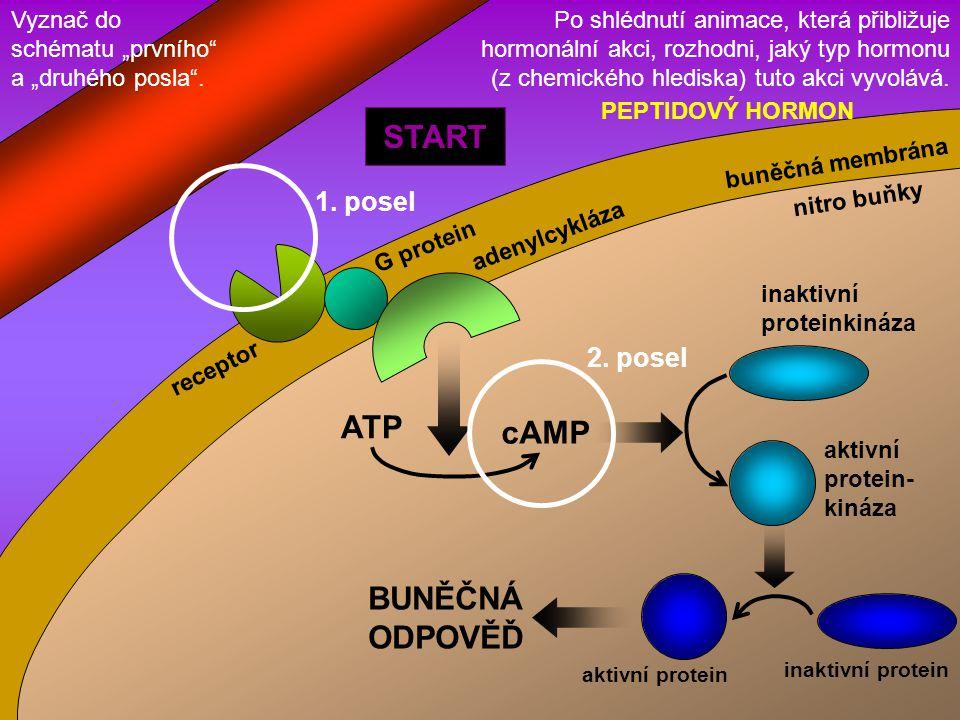 ATP cAMP inaktivní proteinkináza aktivní protein- kináza BUNĚČNÁ ODPOVĚĎ inaktivní protein aktivní protein adenylcykláza G protein receptor START buně
