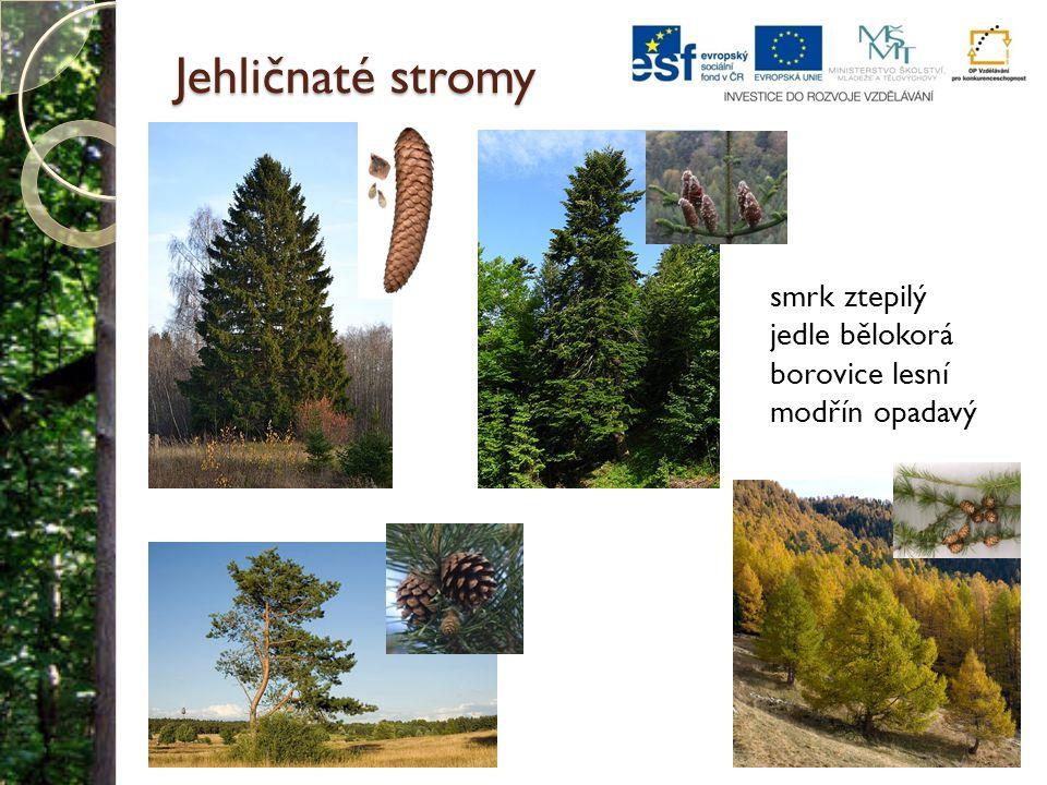 Jehličnaté stromy smrk ztepilý jedle bělokorá borovice lesní modřín opadavý