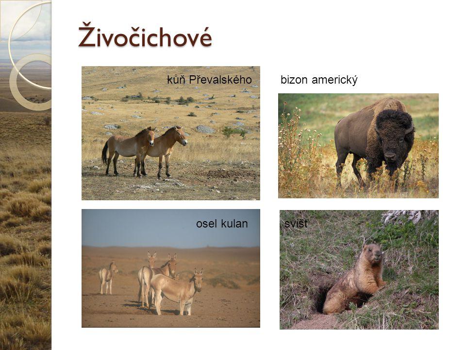 Živočichové kůň Převalského osel kulansvišť bizon americký