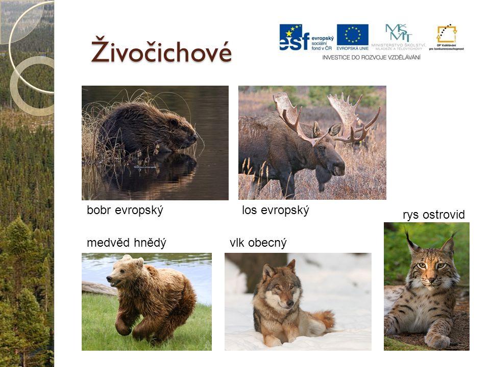 Živočichové medvěd hnědývlk obecný bobr evropskýlos evropský rys ostrovid