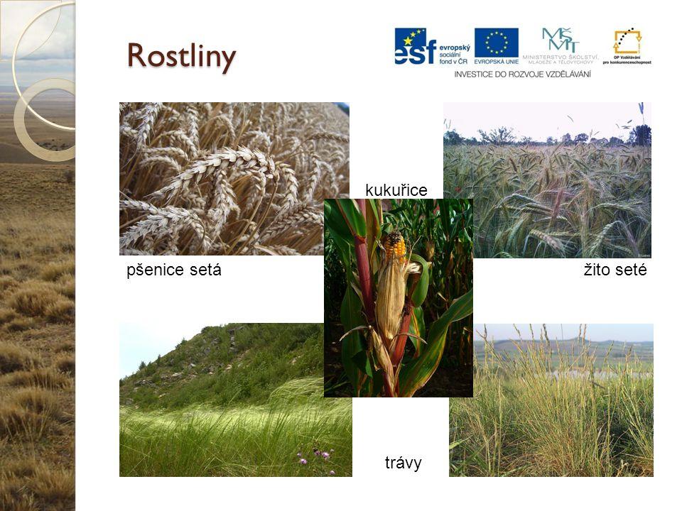 Rostliny pšenice setážito seté kukuřice trávy