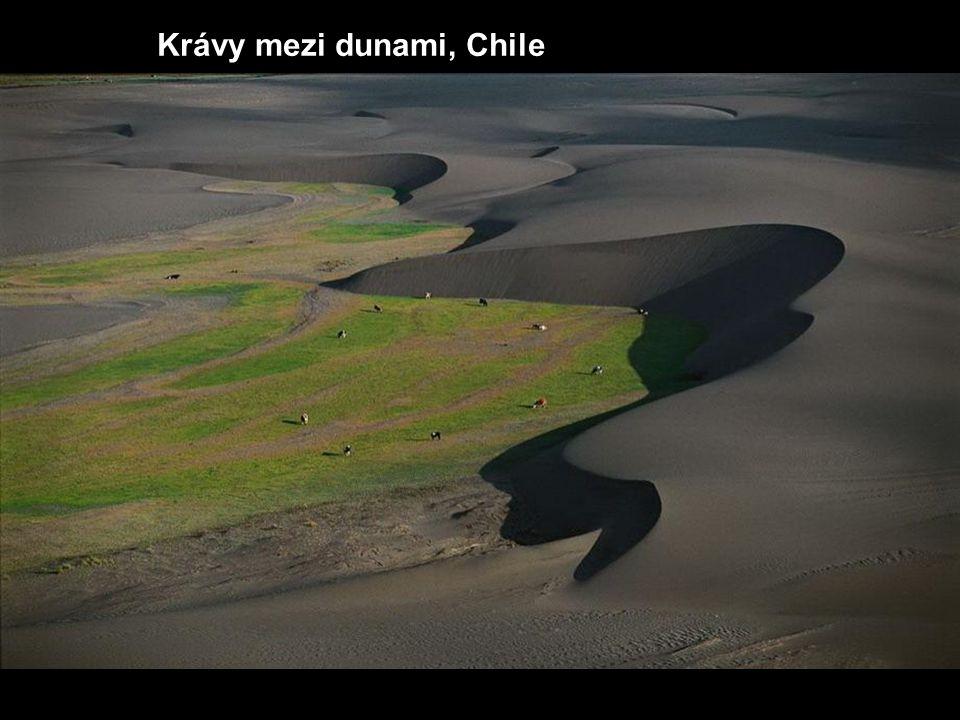 Krávy mezi dunami, Chile