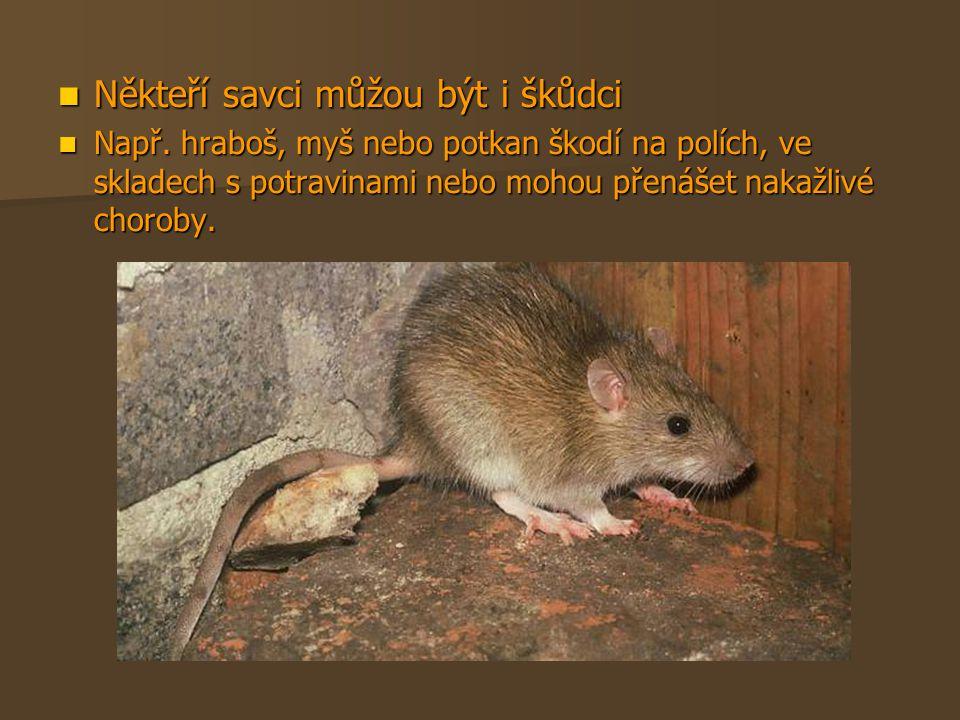 Někteří savci můžou být i škůdci Někteří savci můžou být i škůdci Např. hraboš, myš nebo potkan škodí na polích, ve skladech s potravinami nebo mohou