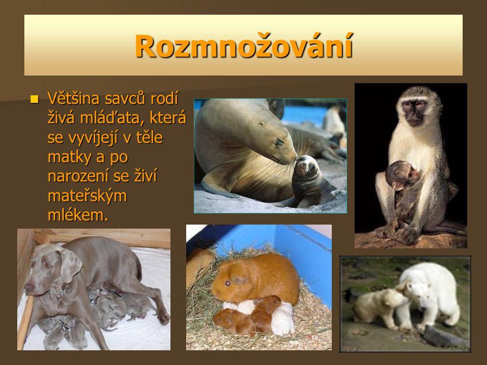 Rozmnožování Většina savců rodí živá mláďata, která se vyvíjejí v těle matky a po narození se živí mateřským mlékem. Většina savců rodí živá mláďata,