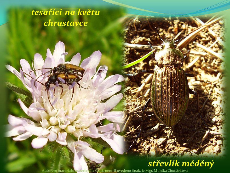 tesaříci na květu chrastavce střevlík měděný Autorem materiálu a všech jeho částí, není-li uvedeno jinak, je Mgr. Monika Chudárková