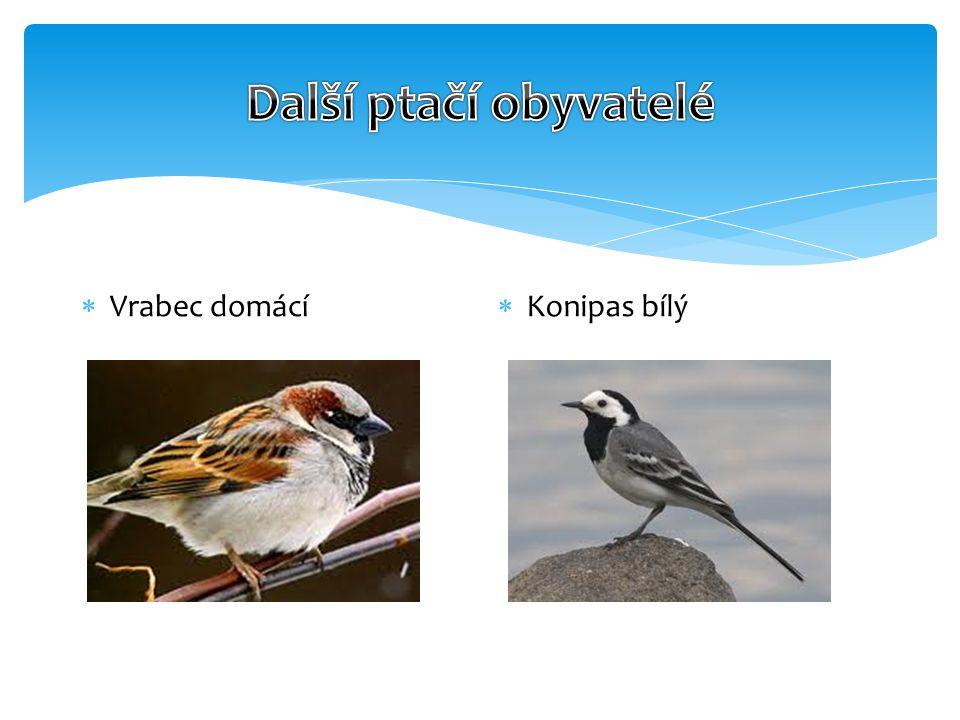  Vrabec domácí  Konipas bílý