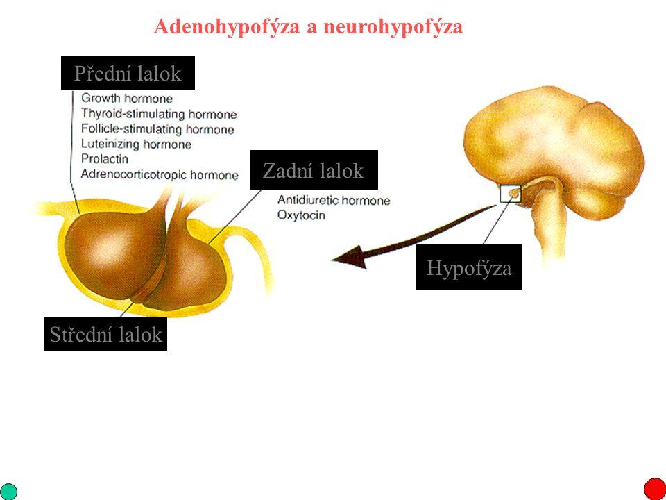 Adenohypofýza a neurohypofýza Hypofýza Střední lalok Přední lalok Zadní lalok