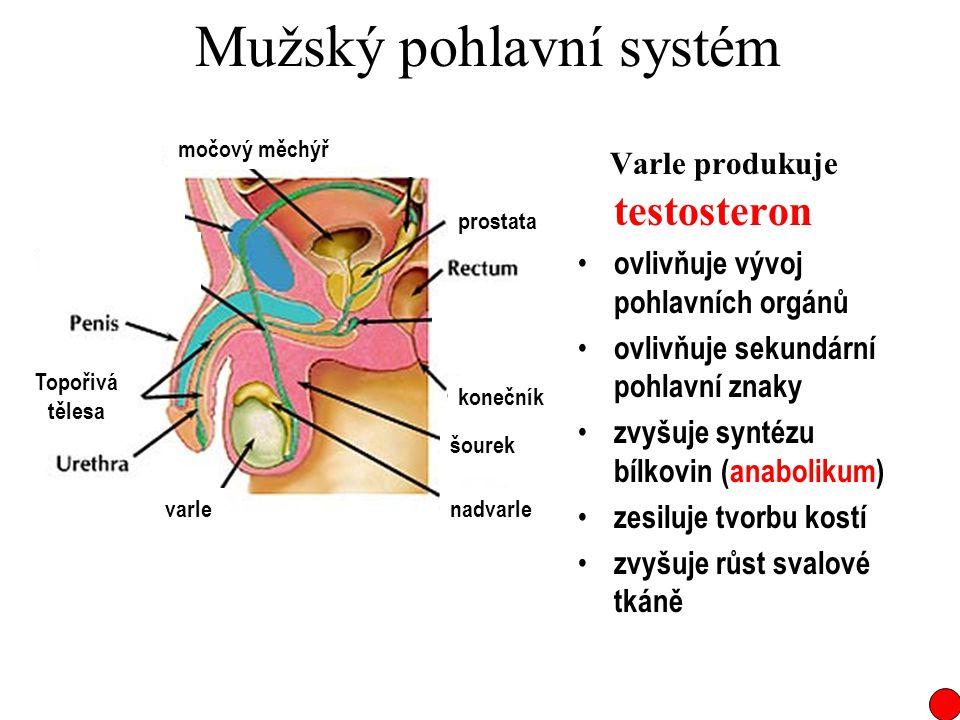 Mužský pohlavní systém Varle produkuje testosteron ovlivňuje vývoj pohlavních orgánů ovlivňuje sekundární pohlavní znaky zvyšuje syntézu bílkovin (ana