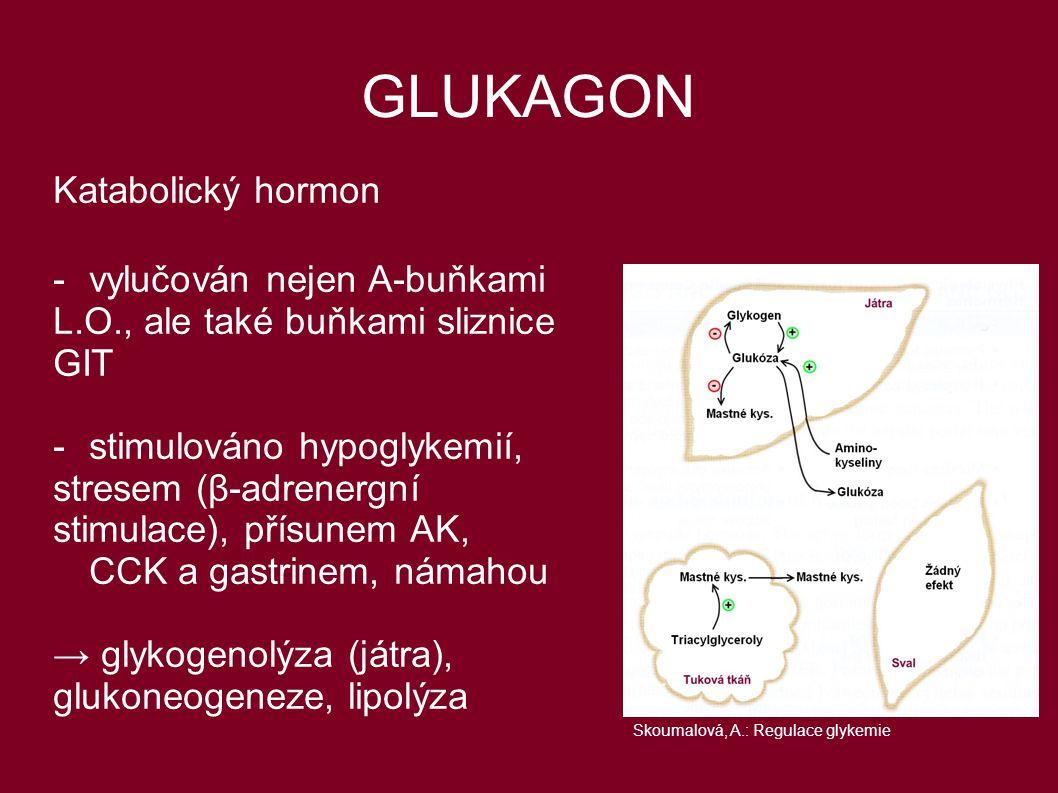 GLUKAGON Katabolický hormon - vylučován nejen A-buňkami L.O., ale také buňkami sliznice GIT - stimulováno hypoglykemií, stresem (β-adrenergní stimulac