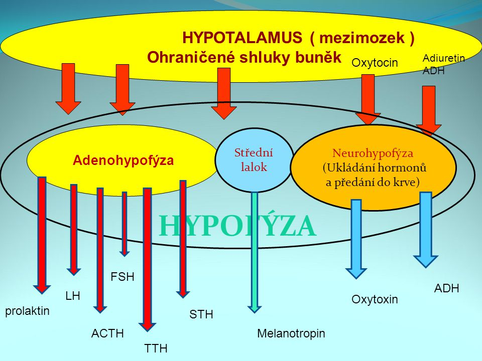 HYPOTALAMUS ( mezimozek ) Ohraničené shluky buněk Adenohypofýza Střední lalok Neurohypofýza (Ukládání hormonů a předání do krve) HYPOFÝZA Adiuretin ADH Oxytocin Melanotropin STH TTH FSH ACTH LH prolaktin Oxytoxin ADH